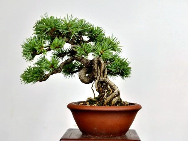 Bonsai en estilo raíces expuestas Ne agari.