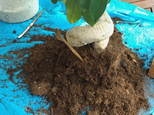 raíces ficus bonsai trasplante