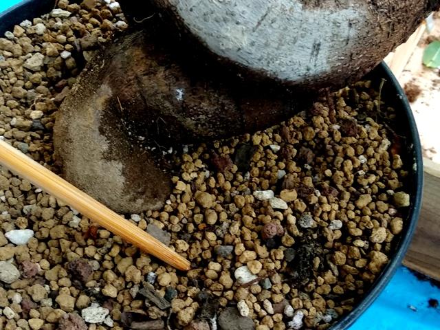 Sustrato bonsai ficus