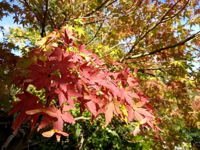 Colores otoñales de un bonsai de arce japonés