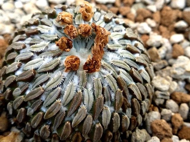 cactus cultivado en akadama y pomioce