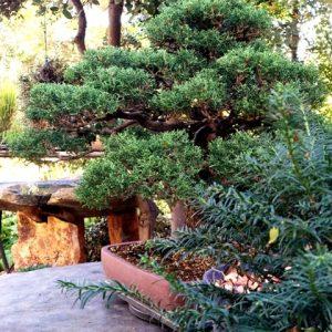 bonsai toledo