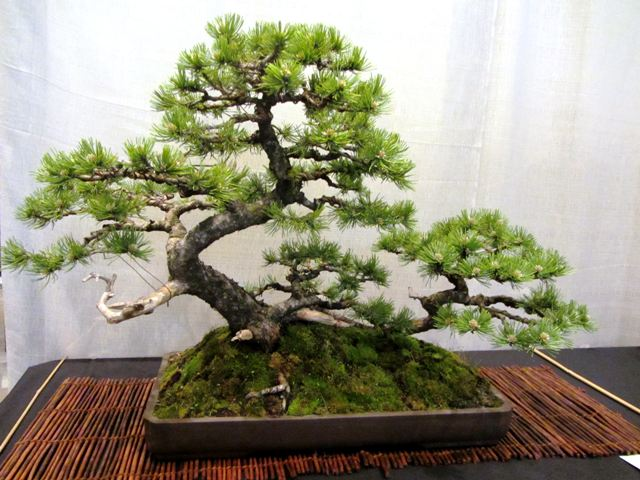 pino mugo bonsai
