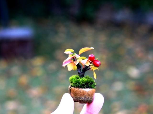 mini bonsai shito keshitsubo