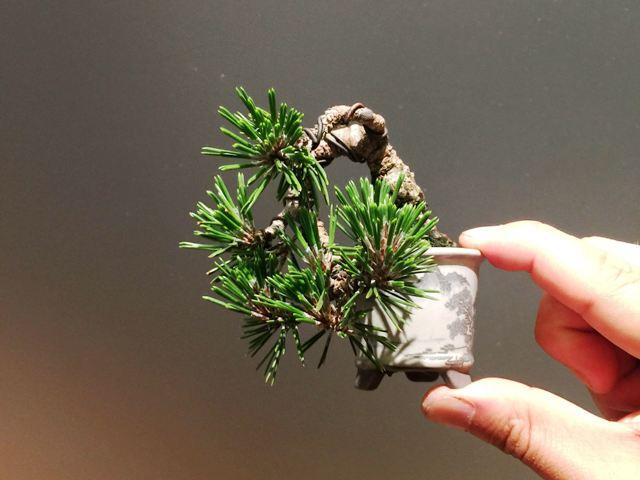 bonsai mame pino cinco agujas pentaphylla.