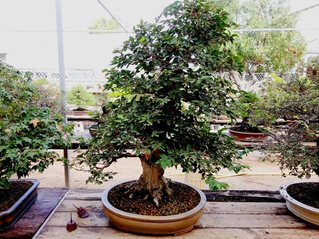 olmo parviflora olmo chino bonsai