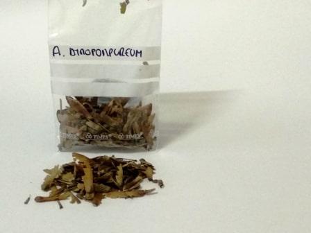 semillas de arce de la variedad atropurpureum