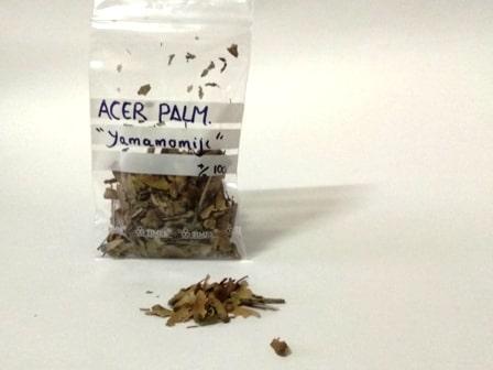 """semillas para bonsai de acer palmatum """"yamamomiji"""""""