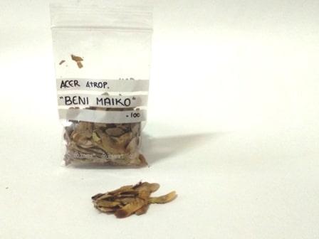 semillas de arce rojo de la variedad beni maiko