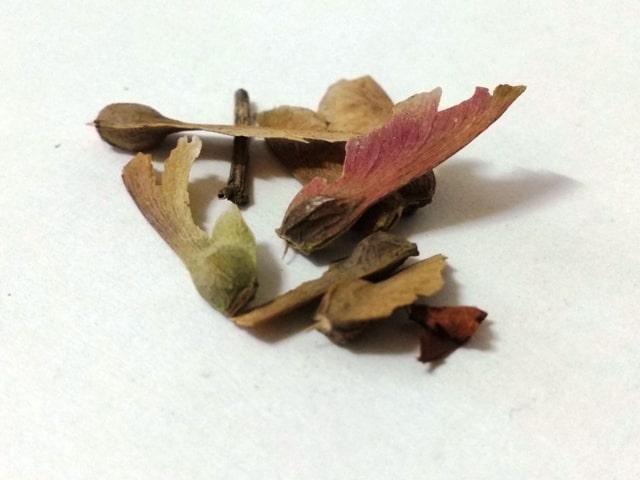 estratificar semillas de arce
