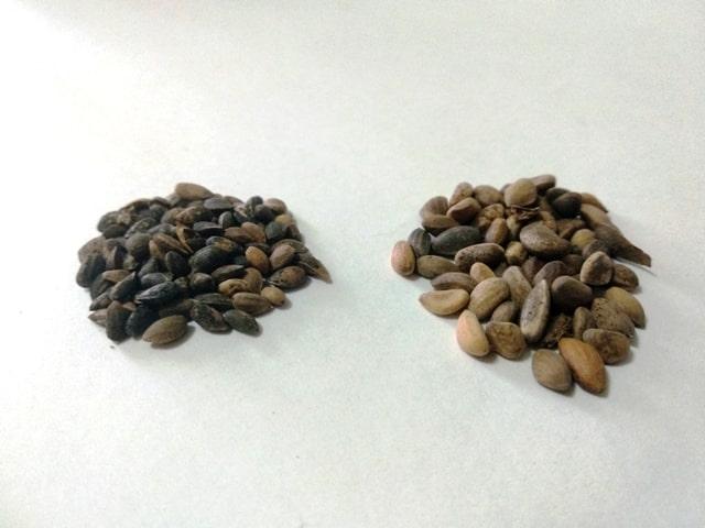 estratificar semillas de pino