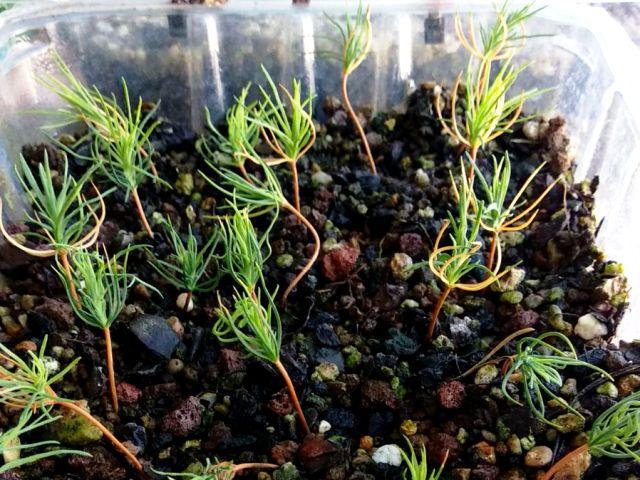 plantulas. semillas de pino recien germinadas.s