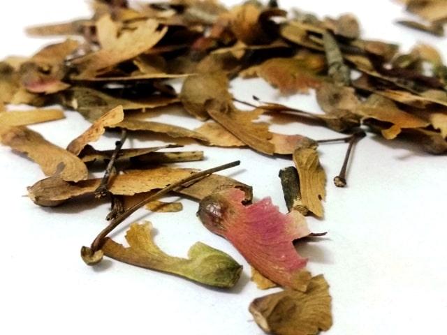 semillas de arce. conocidas como samaras