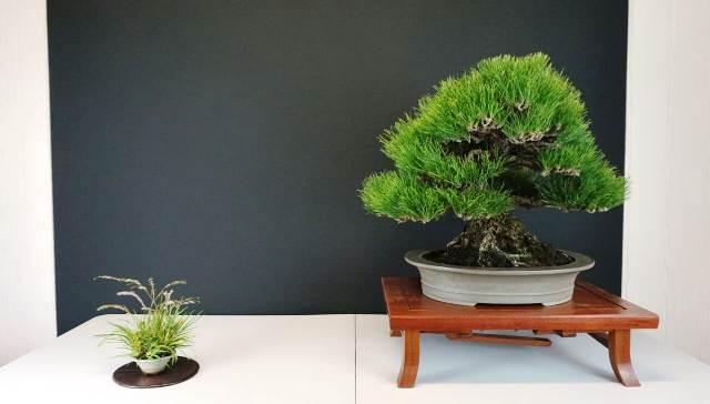 Pino negro japones de Diego albarran, Caminando entre bonsais.