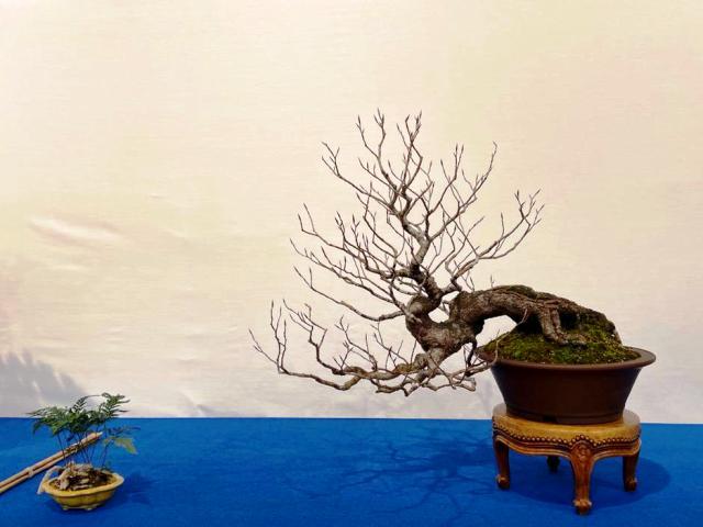 caduco bonsai semi cascada en maceta redonda