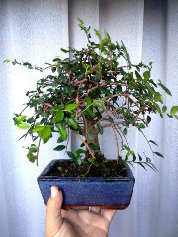 bonsai verdecora