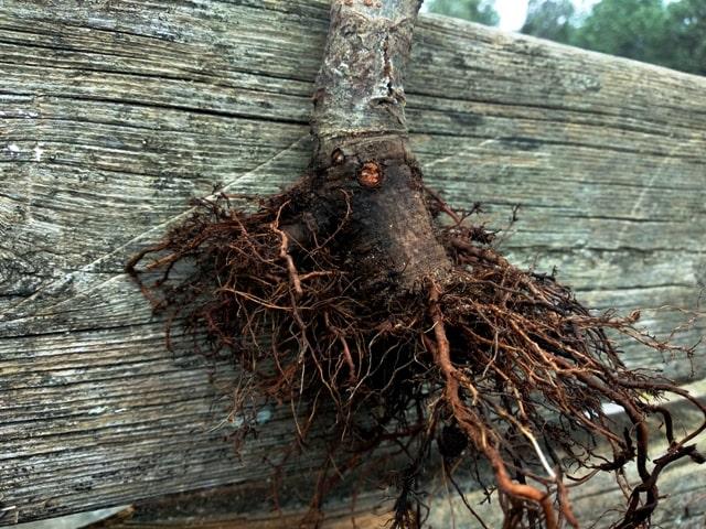 raices y apodadas en el bonsai de olmo