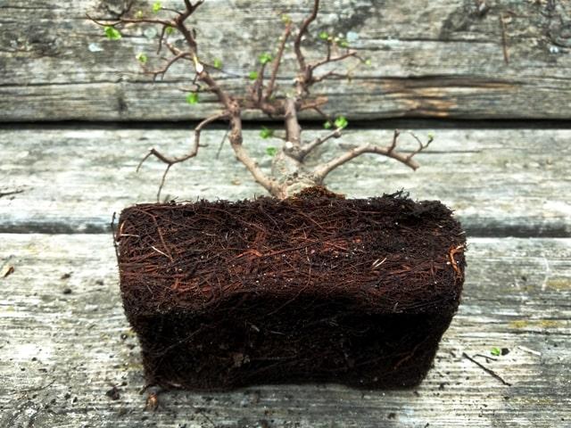 compacto cepellón de raíces de un bonsai cmercial