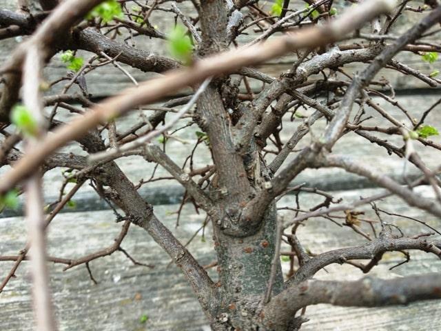 Poda de un bonsai de olmo comercial