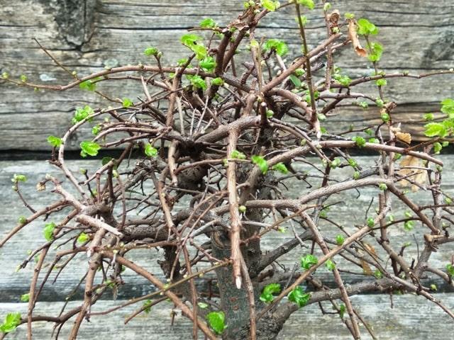 ramas cruzadas en el bonsai de olmo