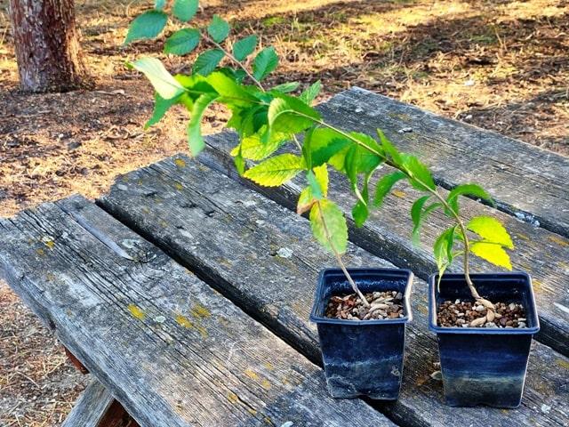plantones de un año de olmo minor de semilla