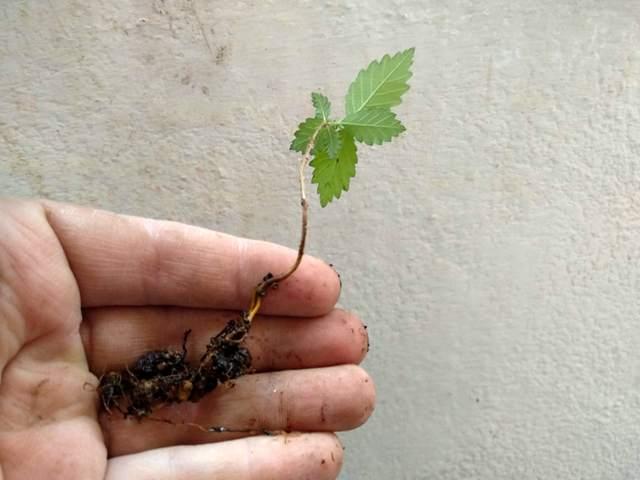 olmo con raíz