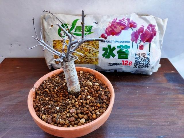prearación del musgo sphagnum para cubrir la maceta
