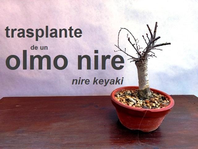 trasplante olmo nire